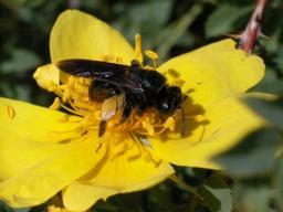 <i>Andrena pilipes</i> ヒメハナバチ