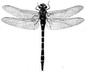オニヤンマ <i>Anotogaster sieboldii</i> (Selys, 1854)